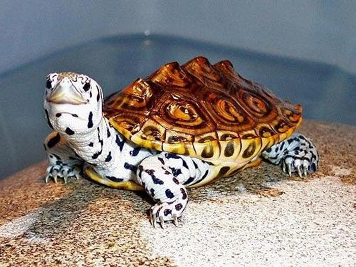 Con Rùa số mấy? Mơ thấy Rùa đánh đề con gì chuẩn?